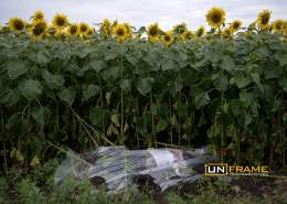 Body of one of the passengers found in a field of sunflowers on the crash site of flight MH17 Malaysian Airways Boeing 777, Hrabove, Eastern Ukraine.