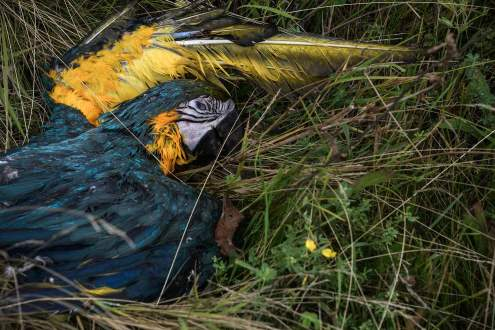 A dead parrot on Malaysia MH17 crash site