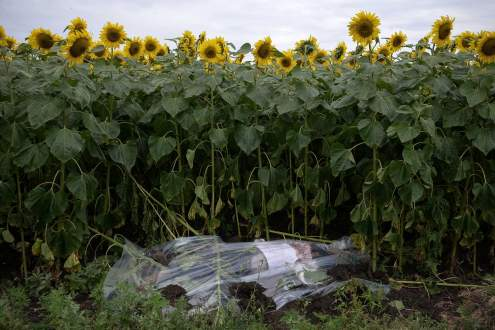 A corpse of the Malaysia MH17 flight on a sunflowers field