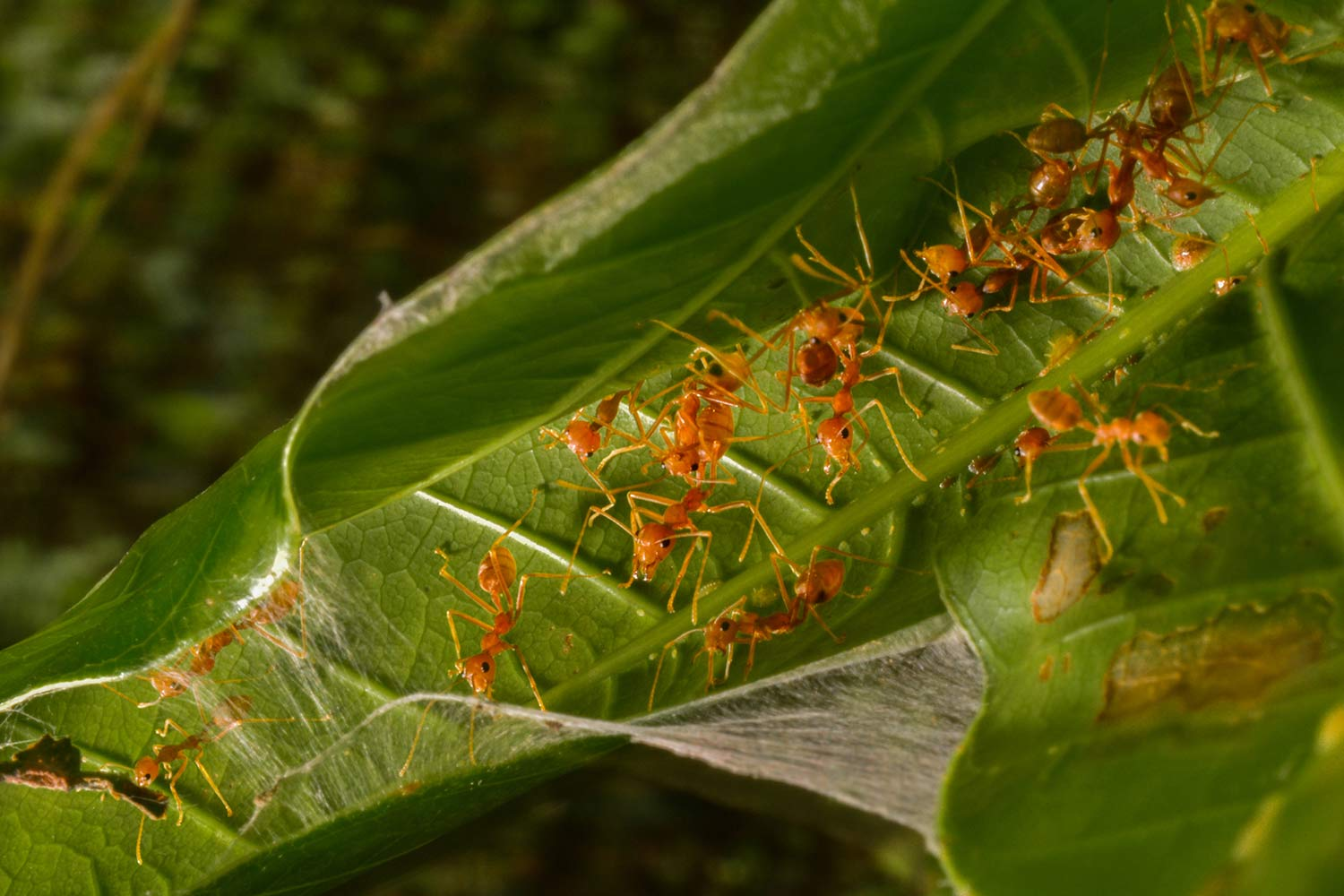 Weaver ants, a section of the society works all day to build homes that are in an intricate manner so as to protect the eggs and the ants.  © Suraj Bhakat