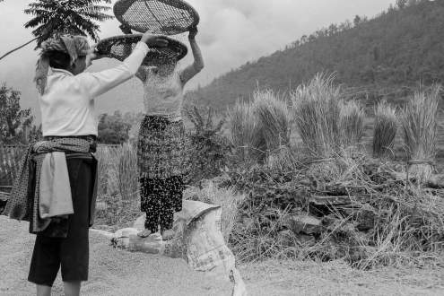 Women are using baskets to separate rice grain and straw