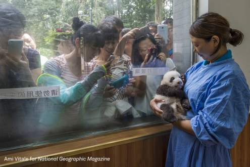 Caretaker Li Feng cradles her precious charge by the window of Bifengxia's panda nursery