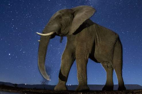 African Elephant under the starry sky.