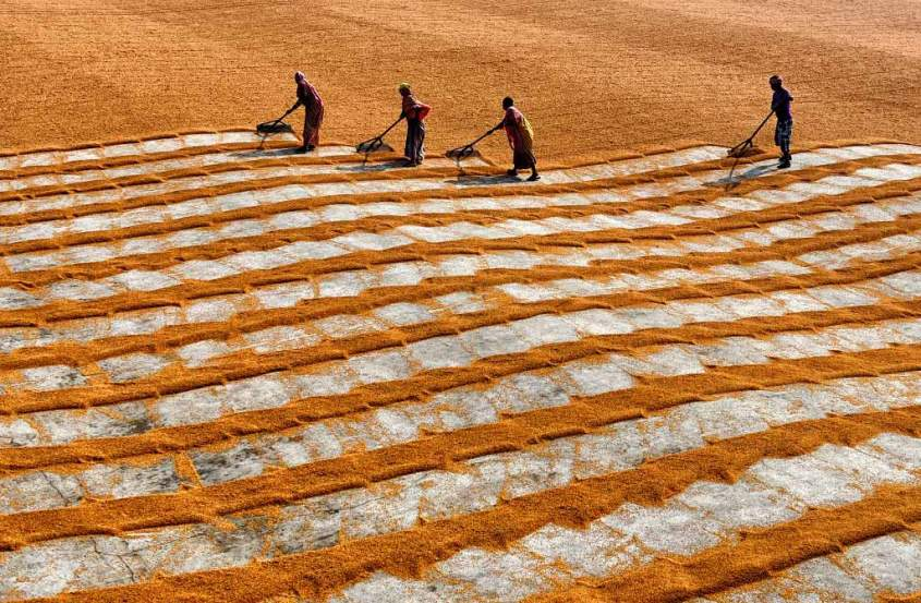 Rice manual drying in India